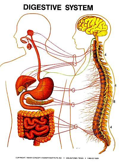 big_digestive_system