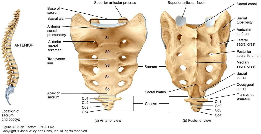Coccyx and sacrum anatomy