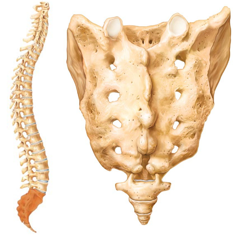 Your Sacrum & Your Coccyx