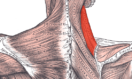 """Real Function Muscle Series: """"Levator Scapulae"""""""