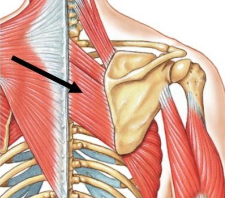 Weak Rhomboids = Rounded Shoulders = Neck Stress